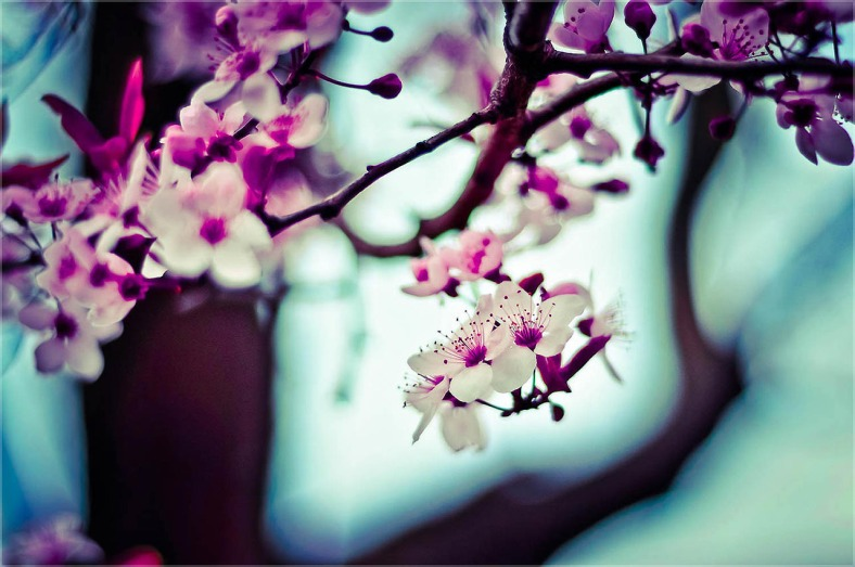 Cherry Blossom (Sakura) creative commons license courtesy unsplash Rula Sibai